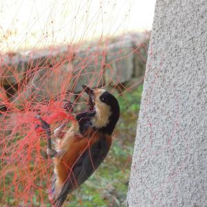 ヤマガラが防鳥ネットに引っ掛かる