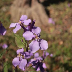 ムラサキハナナ(ショカツサイ)が咲いています <2021>