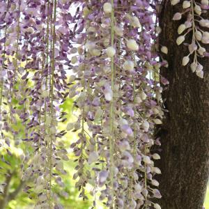 我が家の藤棚の花が満開のときの様子 <2021>
