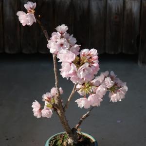 鉢植えの桜「旭山」が満開のときの様子 <2021>