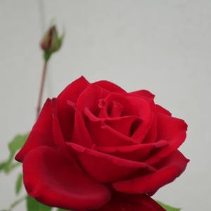 バラ「熱情」が咲いています <2021>