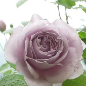 バラ「ノヴァーリス」が咲いています <2021>