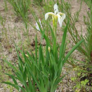 白の実生のアヤメが4年をかけて初めて花を咲かせました <2021>