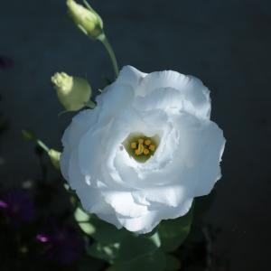 トルコギキョウが咲いています <2021>