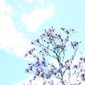 シオン(紫苑)が咲いています <2021>