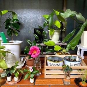 庭の山茶花(さざんか)を切り花に!部屋がパッと明るくなります。