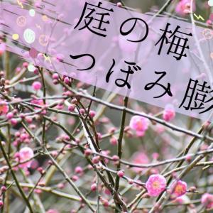 庭の梅、蕾が成長中!!白梅・紅梅揃っています^^水挿しして成長を近くで見届ける