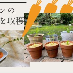 にんじんの水耕栽培!水につけて伸びた葉っぱを収穫中😍