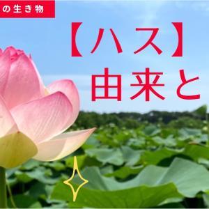 【感動】唐比のハス園へ行く!!湿地帯一面ハスの葉と水辺の生き物たち