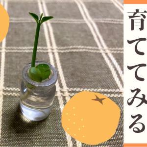 蜜柑の種を水につけると発芽した!水耕栽培で育つものなのか?