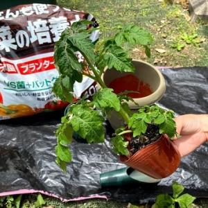 """支柱のいらないミニトマト""""レジナ""""を栽培!時間がかかってようやく収穫"""