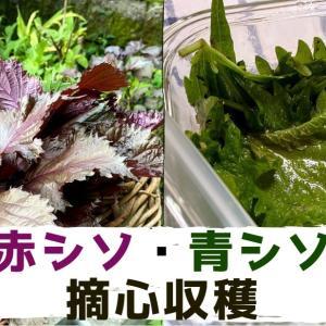 【紫蘇摘心】種から育てた赤紫蘇とこぼれ種の青紫蘇を摘心、収穫