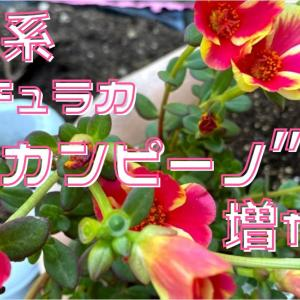 【動画作成】栄養系ポーチュラカ カンピーノを増やす!力強く花キレイ、良いこと尽くしの苗です♪