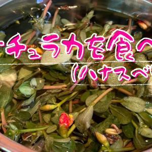 【動画作成】ポーチュラカ(ハナスベリヒユ)をついに食べる!!!自家製ポーチュラカの胡麻和えとお浸し