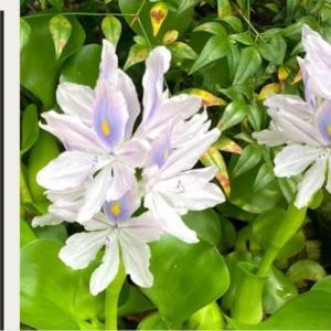 【動画作成】ホテイ草の花が咲いた!簡単激増えホテイ草~!!冬越しはできるのか?