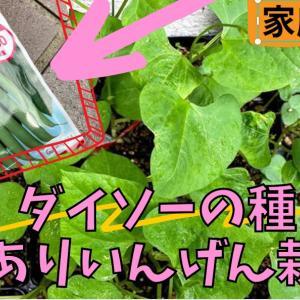 【動画作成】ダイソーの種からつるありいんげんを育てる!!先日の柵作戦の動画