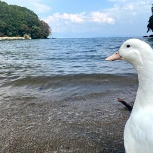 【長崎市】琴海 アコウの木がある海。野生のアヒル?のプライベートビーチ