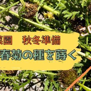 【動画作成】家庭菜園。自家製種から春菊を作る!たくさんの種、採れました^^