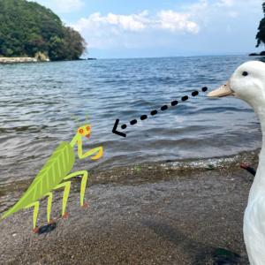 【動画作成】一羽ぼっちの野生のアヒル ガーコ!カマキリを食べる!その中からはハリガネムシが💦