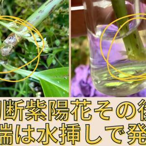 【動画作成】害虫被害の紫陽花の回復の記録!先端は水挿しにして発根→鉢上げ