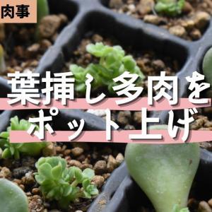 【動画作成】葉挿し多肉の植え替え様子^^可愛い子株生えてます!
