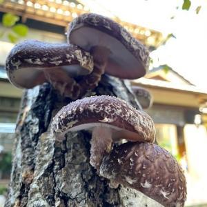 椎茸の原木購入して1年!再びスイッチオン(*^^*)✨焼き椎茸や干ししいたけで食べています
