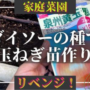 ダイソーの種で玉ねぎ苗作り!リベンジ✨裏技本を頼りに、米ぬか追肥で成長中!