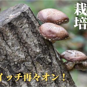 【動画作成】購入から1年経ったしいたけ原木の状態!収穫しいたけはバター醬油焼きと干し椎茸