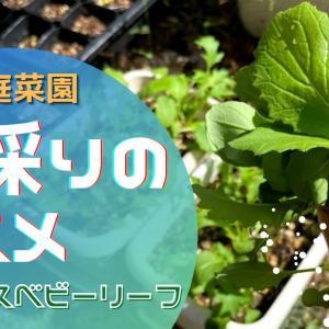 【動画作成】ベビーリーフ種採りのススメ 気軽にエンドレスベビーリーフ♪(おまけは蛇ちゃんアオダイショウ)