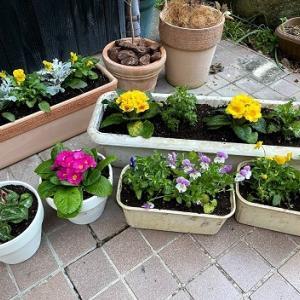 冬の花植え替え作業!花にもぶくぶく植えを使ってみる!(根張りが良くなる裏技✨)