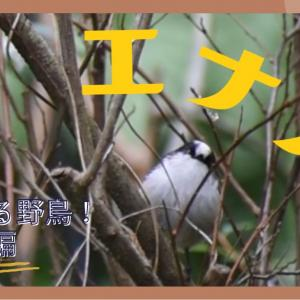 庭に来た野鳥 エナガ!!もふもふ丸い癒し系😄群れでやってきてくれた