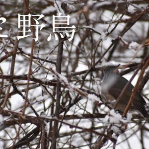 【動画作成】雪の日の庭、いつも通りやってくる野鳥たち(ヒヨドリ・メジロ・スズメ・アオジ)