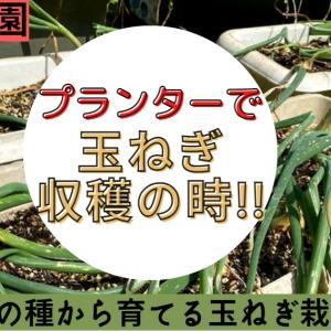 【玉ねぎ収穫】ダイソー種から育った玉ねぎ、今年の大きさは?吊り下げて保存する