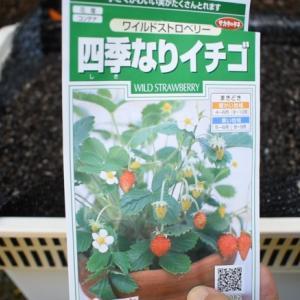 種から育てる四季なりイチゴ(ワイルドストロベリー)育てやすいハーブ!!グランドカバーにも