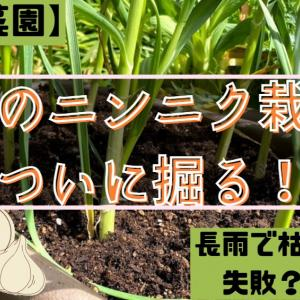 初めてのニンニク栽培!ついに掘り起こしの時。結果は?!