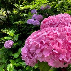 【2年目の挿し木紫陽花】ついに念願の花が咲く!?2年経ったらこんな大きさになる