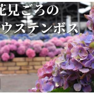 【ハウステンボス】日本最多?‼1250品種!紫陽花の花咲く園内を散策