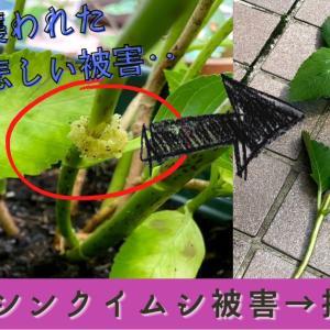 挿し木紫陽花にシンクイムシ被害!!花が咲く前に、枝を数本やられました。挿し穂にしてリカバリー