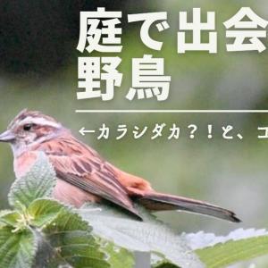 【野鳥】カシラダカ?改め……ホオジロと小さなキツツキコゲラ!久しぶりに庭で出会った野鳥たち