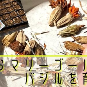 【マリーゴールド・バジル】コンパニオンプランツは種から作って小さな畑に植え付け