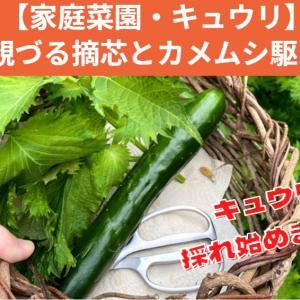 【家庭菜園】キュウリの摘芯とカメムシ対策(ホイホイで地道に確保作戦)