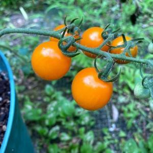 """黄色いトマト(イエローミミ)初収穫!地元のスーパー""""ガンバランド""""で格安ブリカマげっと"""