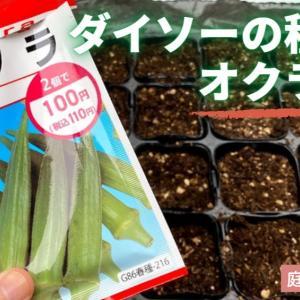 【家庭菜園】ダイソーの種からオクラ栽培!プランターと地植えで挑戦。イモムシ退治はアシナガ蜂におまかせ