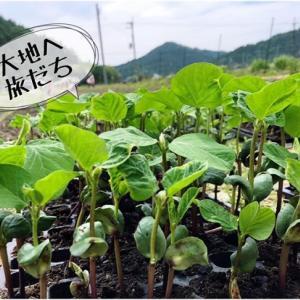 【丹波篠山】丹波の黒豆オーナー制度で名産を守っていこう!
