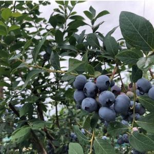 【丹波篠山】大粒なブルーベリー収穫!