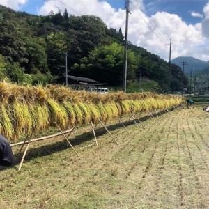もっとお米を食べよう!無農薬天日干し米の稲刈り【丹波篠山】