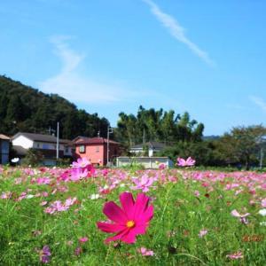 小松コスモス畑の開花状況、青空へ