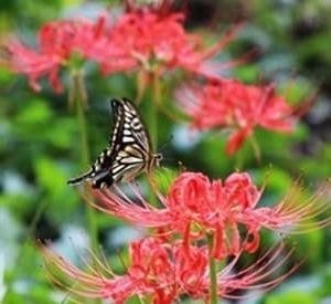 蝶と曼珠沙華の競演