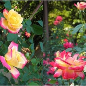 北公園 秋バラのシーズン到来 その3