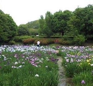 水無月園の花菖蒲 2